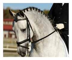 Sweet Andalusian PRE Dressage Gelding | FreeAds.info
