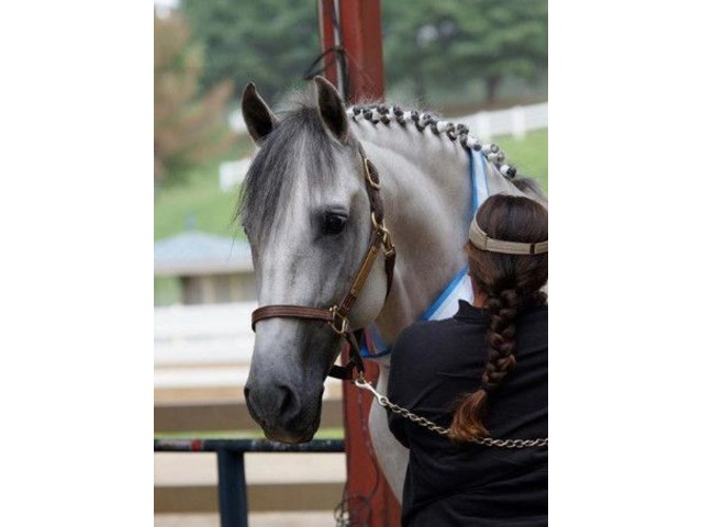 Stunning PRE Andalusian Gelding   FreeAds.info