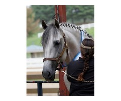 Stunning PRE Andalusian Gelding