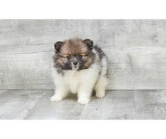 Teacup Pomeranian Puppies Available | FreeAds.info
