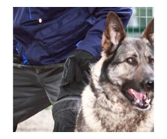 Dartford security dogs | FreeAds.info