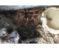 Goliath birdeater, with Tank | FreeAds.info