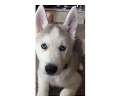 11week old Male Siberian husky | FreeAds.info