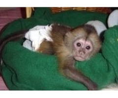 Outstanding Capuchin Monkeys for Adoption