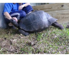 Giant Galapagos and Aldabra Tortoises for Adoption | FreeAds.info