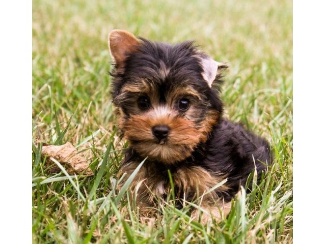 Micro Tiny Yorkshire Terrier Puppies for Sale | FreeAds.info