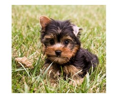 Micro Tiny Yorkshire Terrier Puppies for Sale