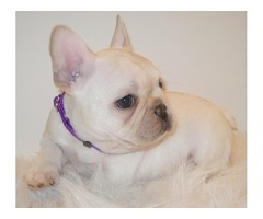 French bulldogs pups for sale