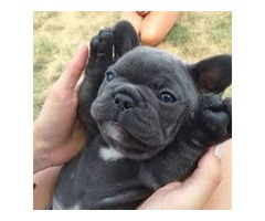 super adorable french bulldog ready for sale AKC registered | FreeAds.info