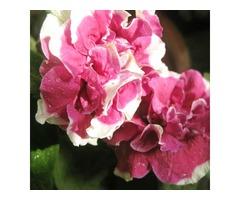 200pcs Mixture Colors Double Petal Petunia Hybrida Seeds Garden Balcony Decorative Flower Plants