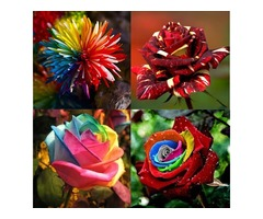 Flower Seeds Combination Rainbow Rose Chrysanthemum Meteor Shower Rose Home Garden Seeds