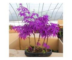 Egrow 40Pcs Purple Maple Seeds Rare Color Beautiful Purple Ghost Bonsai Plants Trees