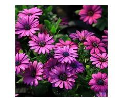 30Pcs African Blue Eyed Daisy Seeds Osteospermum Seeds Mix Color Flower