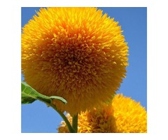 15Pcs Teddy Bear Sunflower Seeds Home Garden Semi Dwarf Helianthus Garden Beautiful Flower Seeds