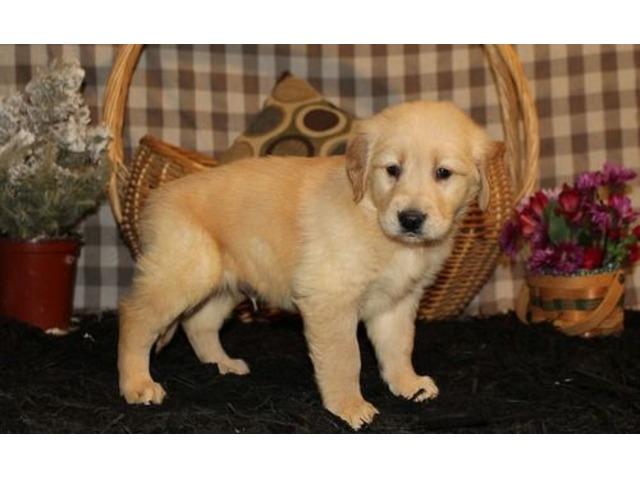 Golden Retriever Puppies. | FreeAds.info
