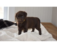 Chocholate Labrador Retriever.