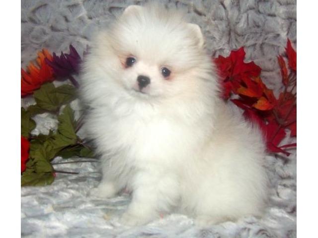 Pure White Pomeranian Puppies. | FreeAds.info