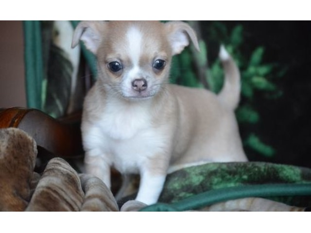 Chihuahua Puppies for sale. | FreeAds.info
