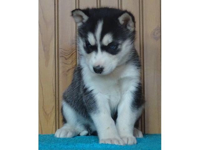 Blue Eyes Siberian Husky Puppies. | FreeAds.info