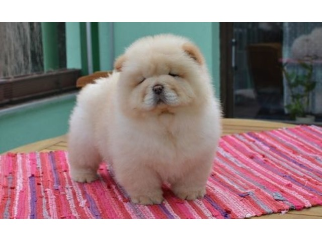 Chow Chow Puppies Cowbridge Vale Of Glamorgan Classified Ad 2551