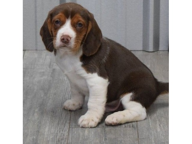 Beagle Available Now.   FreeAds.info