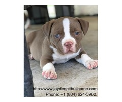 Pitbull Puppies For Sale XL Pit Bulls jaydenpitbullhome. | FreeAds.info