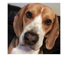 Pedigree beagle for STUD