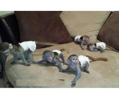 Adorable Cute Stunning Finger Marmoset Monkeys
