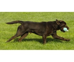 HANDSOME WORKING CHOCOLATE LABRADOR AT STUD