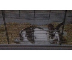 I'm selling three rabbits for 50