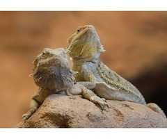 TWO YOUNG BEARDED DRAGONS FOR SALE (Full set up)
